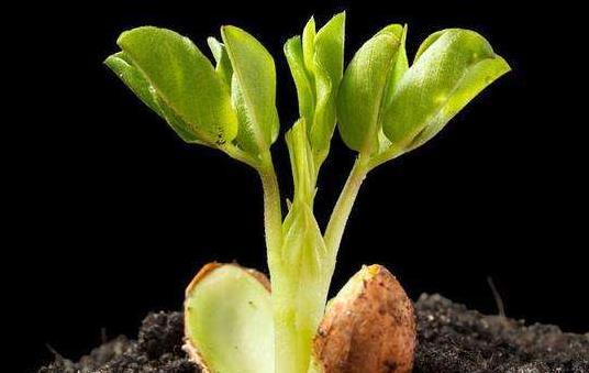 花生发芽了能吃吗?花生有什么功效及作用?