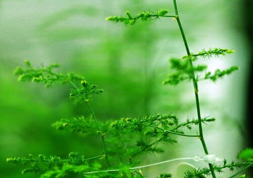 文竹叶子发黄怎么办-文竹怎么养?