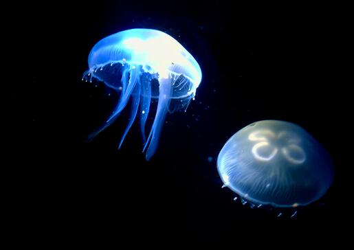 水母怎么养?水母是怎么运动的?
