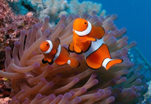 小丑鱼怎么养?小丑鱼常见疾病如何治疗?