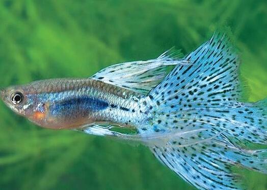 凤尾鱼怎么养?凤尾鱼养殖的注意事项