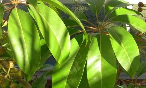 七叶莲的养殖方法 七叶莲的风水作用
