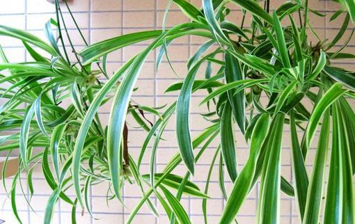 吊兰怎么修剪 吊兰多久浇水一次 吊兰叶子发黄怎么办