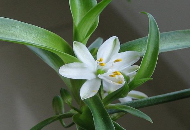 吊兰和绿萝具有净化环境的作用,吊兰和绿萝哪个吸甲醛更强