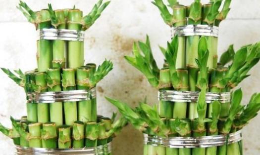 开运竹怎么养 开运竹怎么修剪 开运竹叶子发黄怎么办