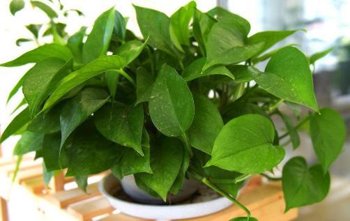 绿萝有毒吗 绿萝吸甲醛吗 绿萝叶子发黄怎么办