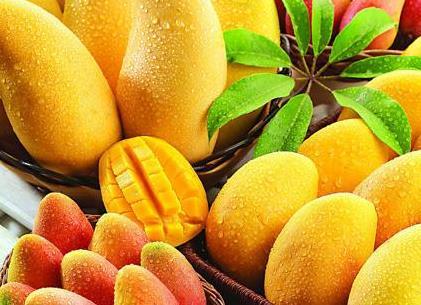 芒果施用有机肥的技术