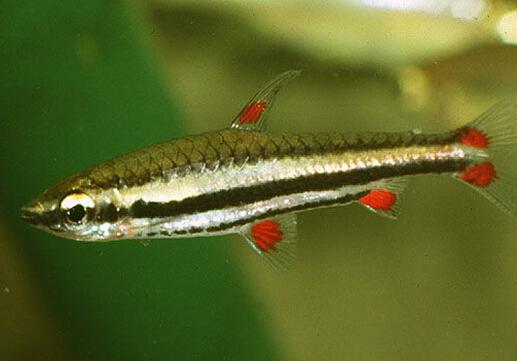 铅笔鱼的风水学应用-铅笔鱼的品种介绍