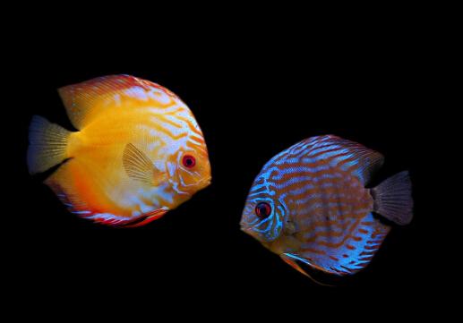七彩神仙鱼的品种-七彩神仙鱼的风水学应用