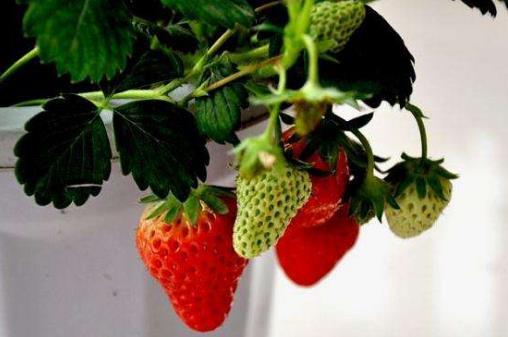 种草莓是什么意思 种草莓的技巧该怎么吸 种草莓的吻痕图片
