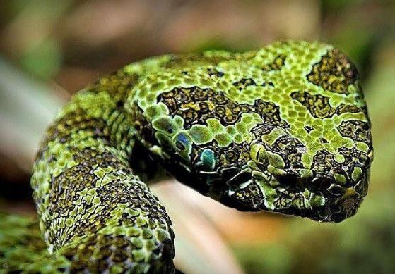 世界上最罕见最贵的6种蛇类排行榜 蛇莽山烙铁头蛇价值100万美元