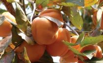 哪些人不能吃柿子?为什么柿子皮不能吃