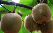 吃猕猴桃的禁忌-哪些人不适合吃猕猴桃