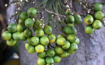 槟榔可驱虫-槟榔的功效与作用