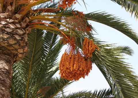 椰枣的功效-食用椰枣的注意事项-椰枣树