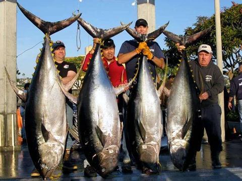 金枪鱼的营养价值-金枪鱼的食用功效