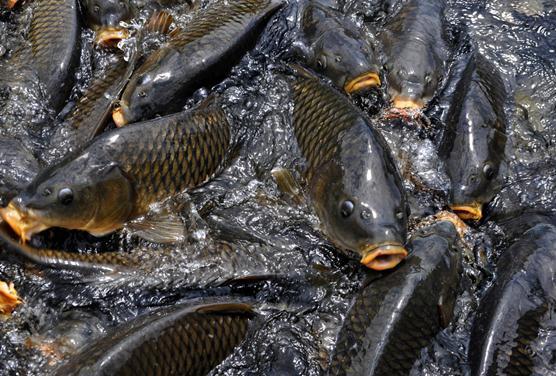 鲤鱼的营养价值-鲤鱼的功效与作用
