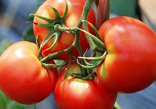 番茄的功效-男人要多吃番茄