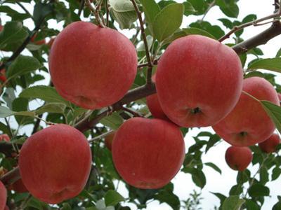 苹果如何储存保鲜贮存苹果妙法