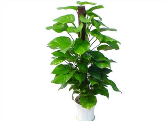 绿萝对家居环境的作用-绿萝的风水学应用