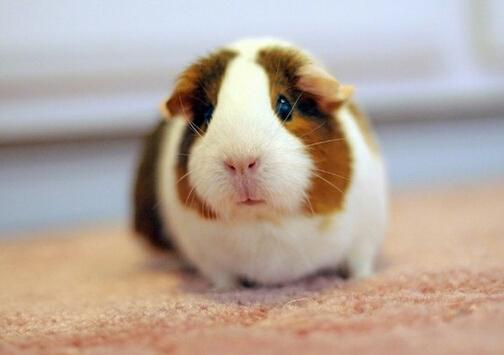 荷兰猪怎么养?荷兰猪的养殖方法 荷兰猪怎么养 荷兰猪又名豚鼠,是非常可爱的宠物鼠。那么,我们应该怎么样荷兰猪呢? 首先,应该为荷兰猪准备一个宽敞舒适的鼠笼。鼠笼不能选择木质的,应该选择坚固耐用的金属材质的。同时,鼠笼内应该必备鼠爬架,让豚鼠既可以舒适的休息又可以快乐的玩耍。 其次,要为荷兰猪准备必要的食盆、水盆、在鼠笼内应该铺垫一些干净的碎布,或者是木屑、纸屑等也可以。需要注意的是,家长准备的鼠笼应该尽量大一些,这样就可以保证荷兰猪可以进行足够的运动,而不会因为狭小的环境而造成精神紧张,性格变得内向而胆