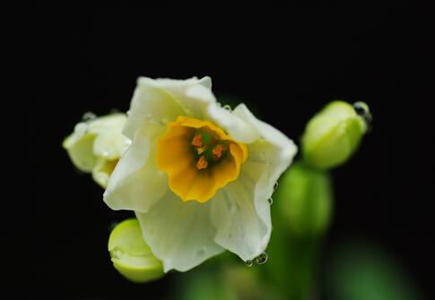 水仙花对家居环境的影响-水仙花的风水学应用