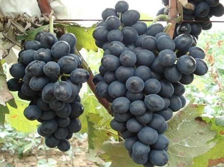 產婦坐月子能吃葡萄嗎?月子里可以吃葡萄嗎