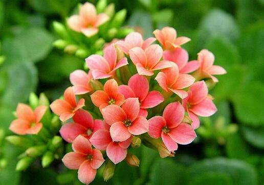 家里有宝宝能养长寿花吗?长寿花的养殖方法