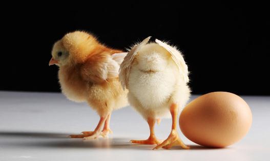 鸡内金是什么?鸡内金的功效有哪些?