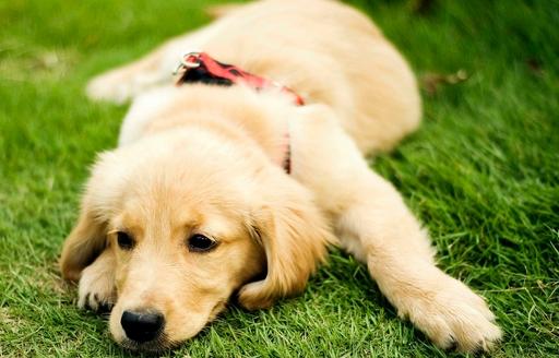 最正确的金毛犬喂食方法-第1张图片