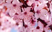人间四月天 浅谈樱花意象