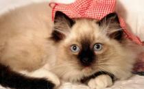 饲养猫咪需要注意正确习性的培养