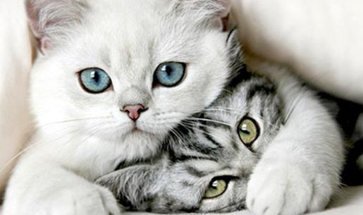 """为什么猫没成为十二生肖之一 据说混沌初分,玉皇大帝下旨普召天下动物,按天干地支中十二支(即子、丑、寅、卯、辰、巳、午、未、申、酉、戊、亥)选拔十二属相。 这一消息惊动了猫和鼠这两个相好的朋友,它们决定一同去应选。猫对老鼠说:""""我有个贪睡的毛病,明天一早去天堂应选时,你到时叫我一声"""",老鼠应诺说:""""汉问题,我一定叫你""""。 第三天一早,老鼠却违背诺言,偷偷起床,不辞而别。 众多禽兽云集灵霄宝殿,准备应选。五帝按天地之别,选定龙、虎、牛、马、羊、猴、鸡、狗、猪、"""
