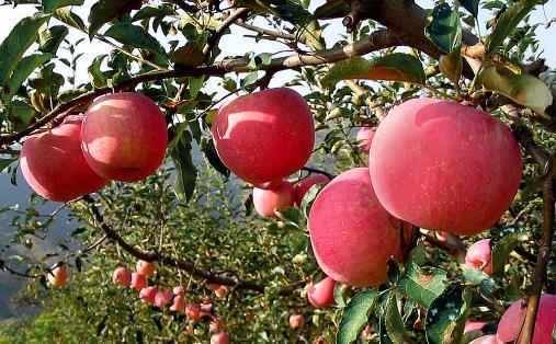 【食材】如何选购到上好的苹果