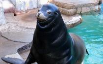 日本海狮居然会微笑,丑萌形象惹人围观