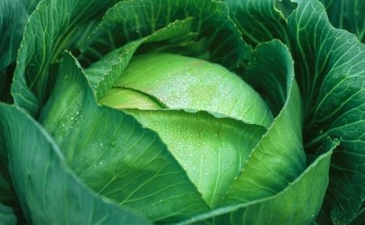 卷心菜有哪些营养价值和作用