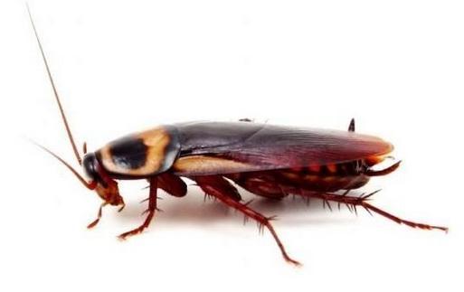蟑螂最怕什么?怎么灭蟑螂?