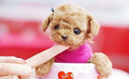 首页 生活常识 动物百科 > 正文   茶杯犬是什么?
