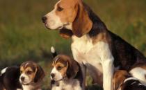 比格犬多少钱一只?比格犬如何喂养?