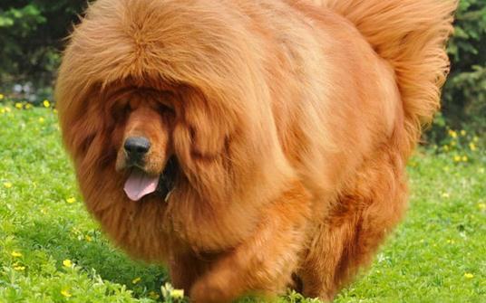 高加索犬是什么品種?高加索犬怎么養?