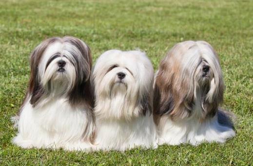 拉薩犬是什么?拉薩犬多少錢能買?