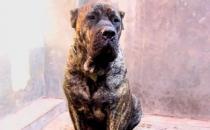 加纳利犬多少钱能买到?加纳利犬怎么养?
