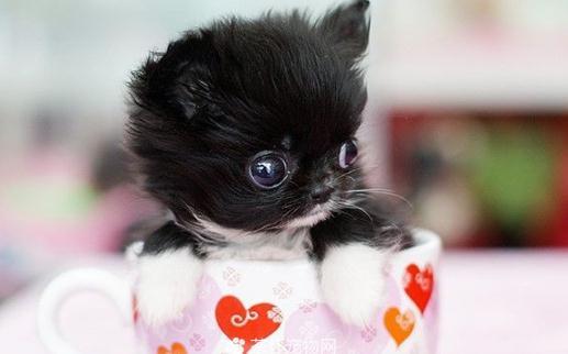 什么是茶杯猫?茶杯猫的生活习性 茶杯猫的简介 茶杯猫也称迷你猫,就是像茶杯大小的猫咪,甚至可以将其放入茶杯中。茶杯猫是微型猫咪,体型通常只有普通猫咪的1/3至1/2大小,寿命比较短,在国际上并未得到承认,只是袖珍的小猫而已。无野生分布,习性与普通家猫相同。 茶杯猫也称迷你猫,就是像茶杯一样大小的猫咪,甚至能装入茶杯还绰绰有余。茶杯猫是为了满足人们对微型猫咪的需求而培育的,它的体型通常只有普通猫咪的1/3至1/2大小,这种猫咪的寿命比较短,可能是由于培育过程中尚未解决的基因缺陷问题,因此这种超小型猫咪在国