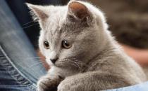 卡尔特猫的简介-卡尔特猫多少钱一只?