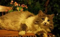 挪威森林猫的简介-挪威森林猫怎么养?