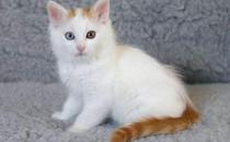 土耳其梵猫的生活习性-土耳其梵猫的简介
