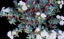 白凤菊的养殖方法-白凤菊的简介