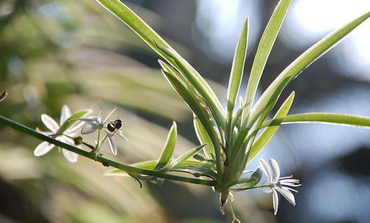 吊兰的品种有哪些 吊兰的花语