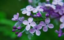 丁香花的介绍-丁香花对家居环境的影响