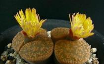 生石花的养殖方法-生石花是什么?